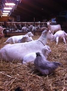 Geitenboerderij Amsterdam
