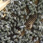 honing-bijen