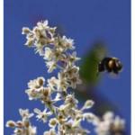 honingbij-voordelen-honing
