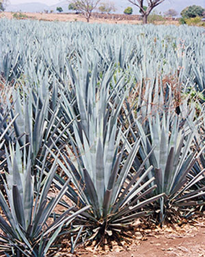 agave-plant-gezond-agave-siroop