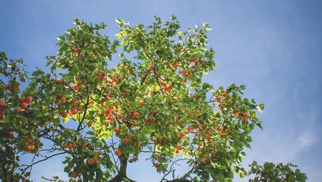 Zijn abrikozen gezond? Hier zie je de abrikozen aan een boom hangen.