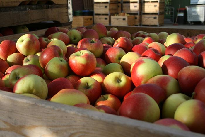Zelf appels plukken tijdens de Appelplukdag bij de boer.