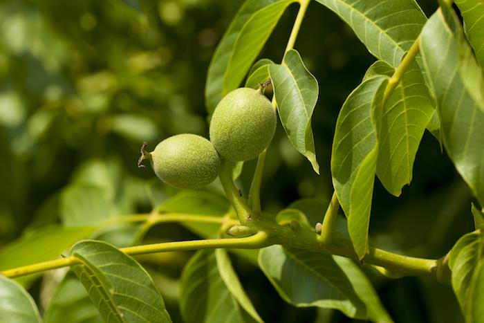 walnoot bloesem voor een goede gezondheid