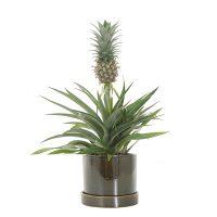 Plant laten versturen voor moederdag: ananasplant